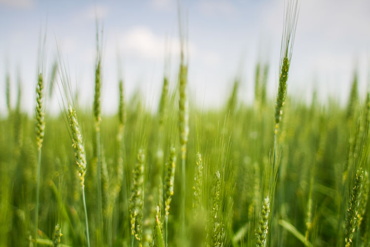 green-grain-field EyeEm Nature Lover Green Color Nature Wheat Agriculture Beauty In Nature Blade Of Grass Cereal Plant Close-up Day Environment Field Freshness Grain Growth Land Landscape No People Outdoors Plant Rural Scene Selective Focus Sky Springtime Surface Level