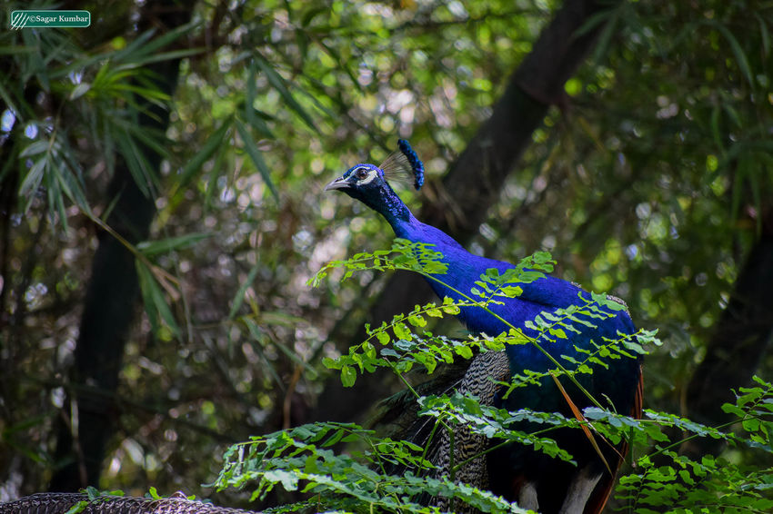 Blue Nature Outdoors Green Color Animals In The Wild Forest Mysore, India Peaceful Place