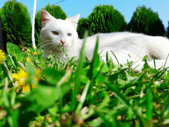 Different eyes!Perfection! Grass One Animal Nature Outdoors Close-up Day Cat Catoftheday Cat Lovers Cat Photography White Cat Outdoor Nature Summer Beautiful Different Eye Color Bear No People Mammal