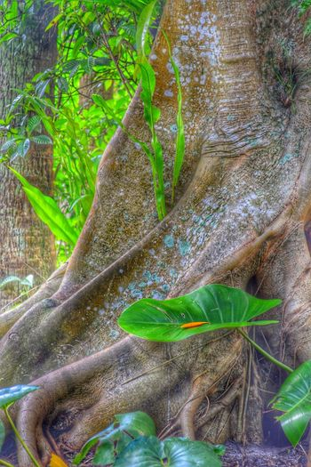 Tropical Tree Tree Trunk Coexistence Root Lichens Wrinkles? McKee Botanical Garden Vero Beach, Florida