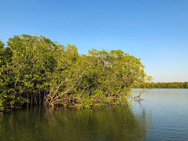 Mangrove in Darwin Harbour, Northern Territory, Australia. Fragile Ecosystem Mangrove Halophytes Rhizophora Rhizophoraceae Plant Sky Water Nature Clear Sky Beauty In Nature Tree No People Tranquility Copy Space Scenics - Nature Green Color Tranquil Scene Sunlight My Best Travel Photo