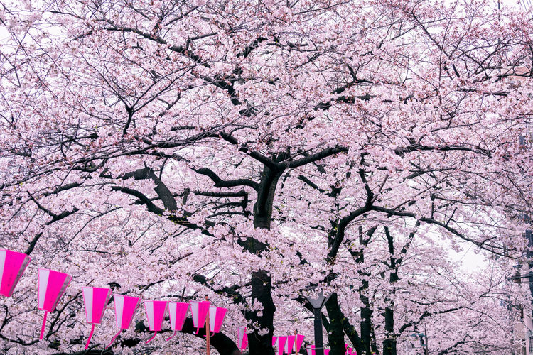 Low angle view of cherry blossom tree in park
