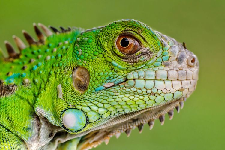 iguana reptilian, exotic wild dragon Animal Wildlife Animal Iguana Hewan Iguana Reptile Portrait Chameleon Looking At Camera Side View Animal Scale Close-up Green Color Animal Body Part Lizard Exotic Pets Camouflage Leg Animal Eye HEAD Animal Skin Green Background Tail Foot Gecko Bearded Dragon Madagascar  Skin Eye Hedgehog