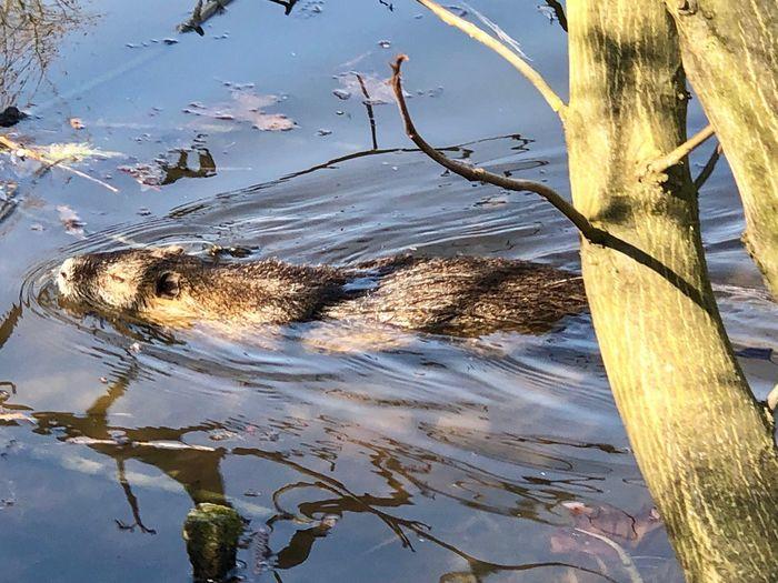 Bisamratte ? Water Animal Themes Animal Animal Wildlife Lake Animals In The Wild Nature