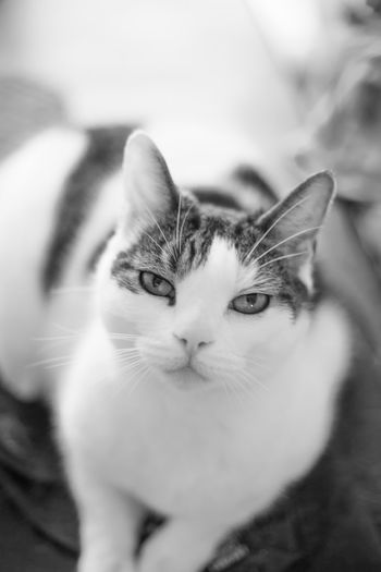 EyeEm Best Shots EyeEm Best Edits EyeEm Gallery Eyeemcats Friendship Human Hand Young Women Love Tabby Maine Coon Cat Tabby Cat Whisker Cat Domestic Animals Animal Face