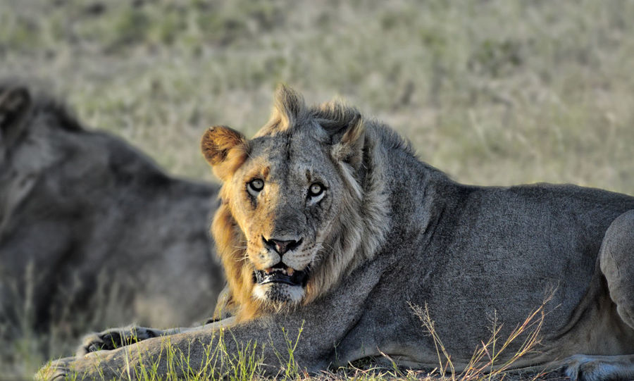 First batch of animals seen during our 2015/2016 safari trip to Kruger Park. Animals In The Wild Kruger Park Lion Lione Animal Themes Animal Wildlife Animals In The Wild Close-up Day Mammal Nature No People One Animal Outdoors Relaxation Safari Animals Sunset