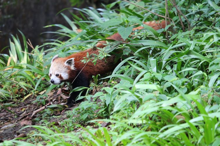Red Panda Hedgehog Close-up Grass Red Panda Panda - Animal Panda Bamboo - Plant Endangered Species Threatened Species Growing