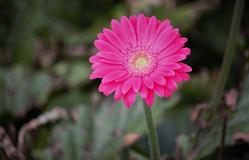 Pink Gerbra
