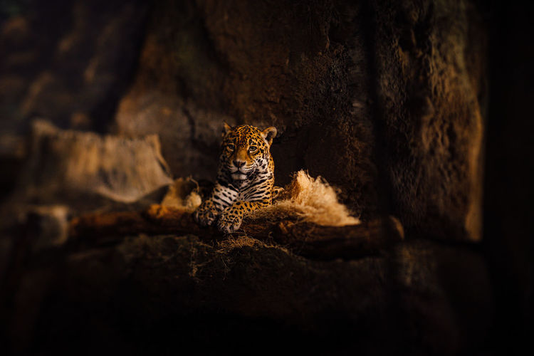 Portrait Of Leopard Relaxing In Cave