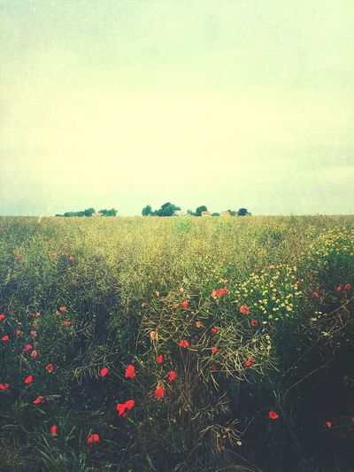 Poppy field Houses Countryhouse Field Poppies  Nature Sky Beauty In Nature Field Outdoors Landscape Growth Modern Workplace Culture