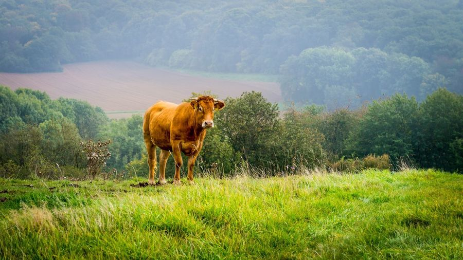 Cow on landscape