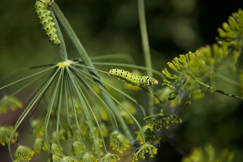 Caterpillars eating dill plant