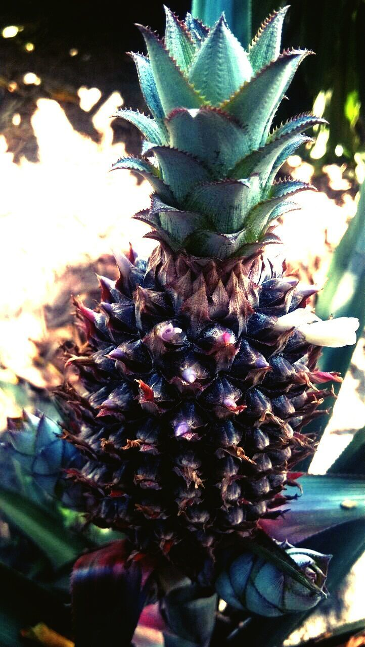 flower, beauty in nature, growth, nature, pineapple, freshness, cactus, no people, day, plant, sunlight, outdoors, flower head, fragility, close-up
