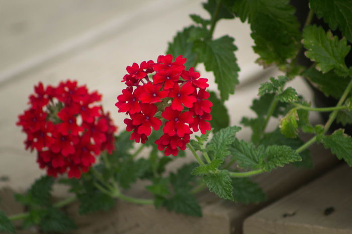 sweet little red flowers from my garden Beauty In Nature Blooming Botany Flower Growing Red Stem Sweet