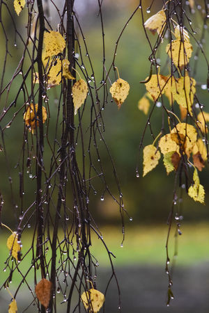 Autumn Autumn Leaves Rain Rain Drops Rainy Days Beauty In Nature Branch Change Close-up Day Flower Flowering Plant Focus On Foreground Freshness Leaf Leaves Nature No People Outdoors Plant Plant Part Tree Water Yellow