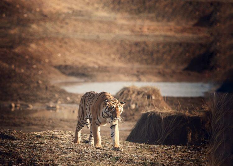 Tiger walking towards shade