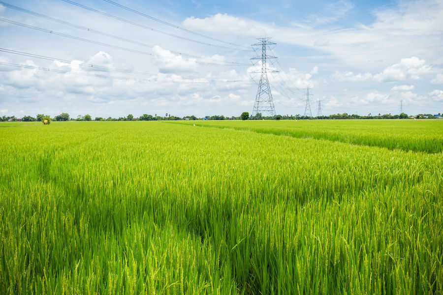 High voltage post or High voltage tower in green rice fields Agriculture Cloud Cloud - Sky Cultivated Land Electric Electricity  Electricity Pylon Farm Field Green Color Growth High Landscape Nature Post Power Power Line  Rural Scene Sky Substation Tension Tranquility