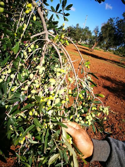 Day Tree Growth Outdoors Sunlight Nature No People Agriculture Sky Olive Tree Olives Oliveoil