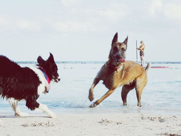 EyeEm Selects Dog Pets Beach Animal Happiness Sand Border Collie Outdoors Joy Summer Playing Theatrical Performance Fun Domestic Animals No People CARIBBEANLIFE Close-up New On Eyeem Wanderlunst Smiling Portrait Sky Day Dogs In Action