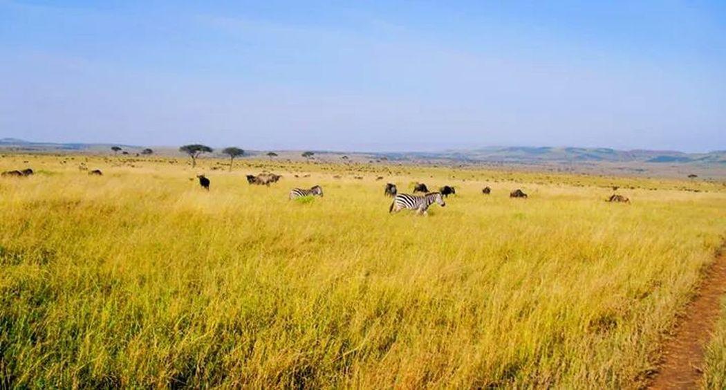 The EyeEm Facebook Cover Challenge Masaai Mara National Park Zebras #wildlife