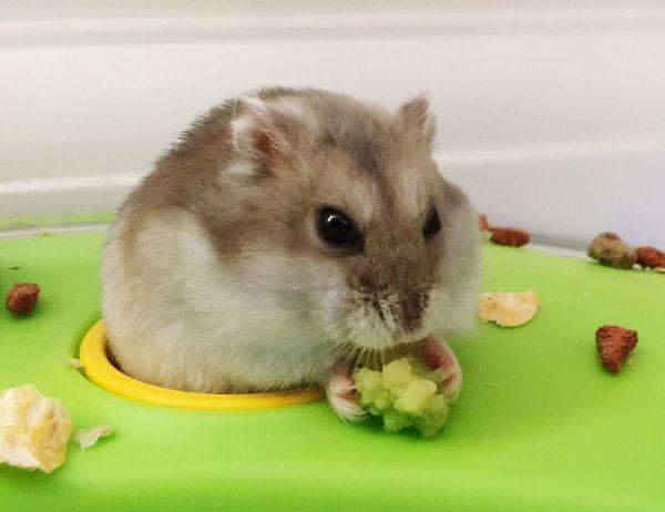 Dwarf Hamster My Hamster Hamster ♡ Hamster Love
