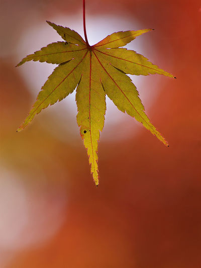 autumn rhapsody EyeEmNewHere Autumn Beauty In Nature Close-up Leaf Maple Maple Leaf Nature No People Orange Color Outdoors