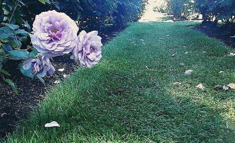 Flowerporn Roses Flowers