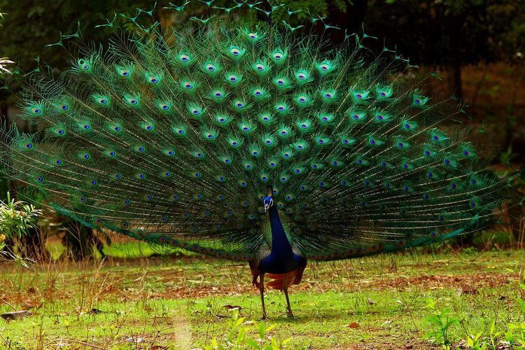 Fanned Out Peacock On Field