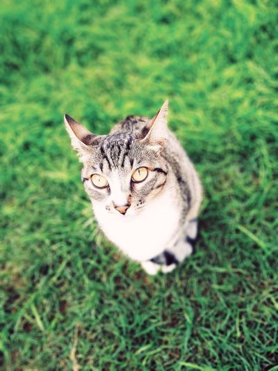 Still #caturday? VSCO Limaperu Pets Portrait Beauty Feline Domestic Cat Looking At Camera Cute Grass Carnivora Cat Family Animal Eye Cat Kitten The Portraitist - 2019 EyeEm Awards