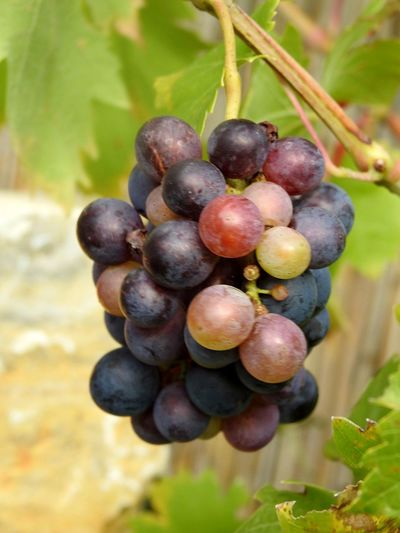 Wine Fruit Healthy Eating Food Outdoors Winemaking Food And Drink Nature Wine Trauben Herbst Grapes Grapevine Freshness