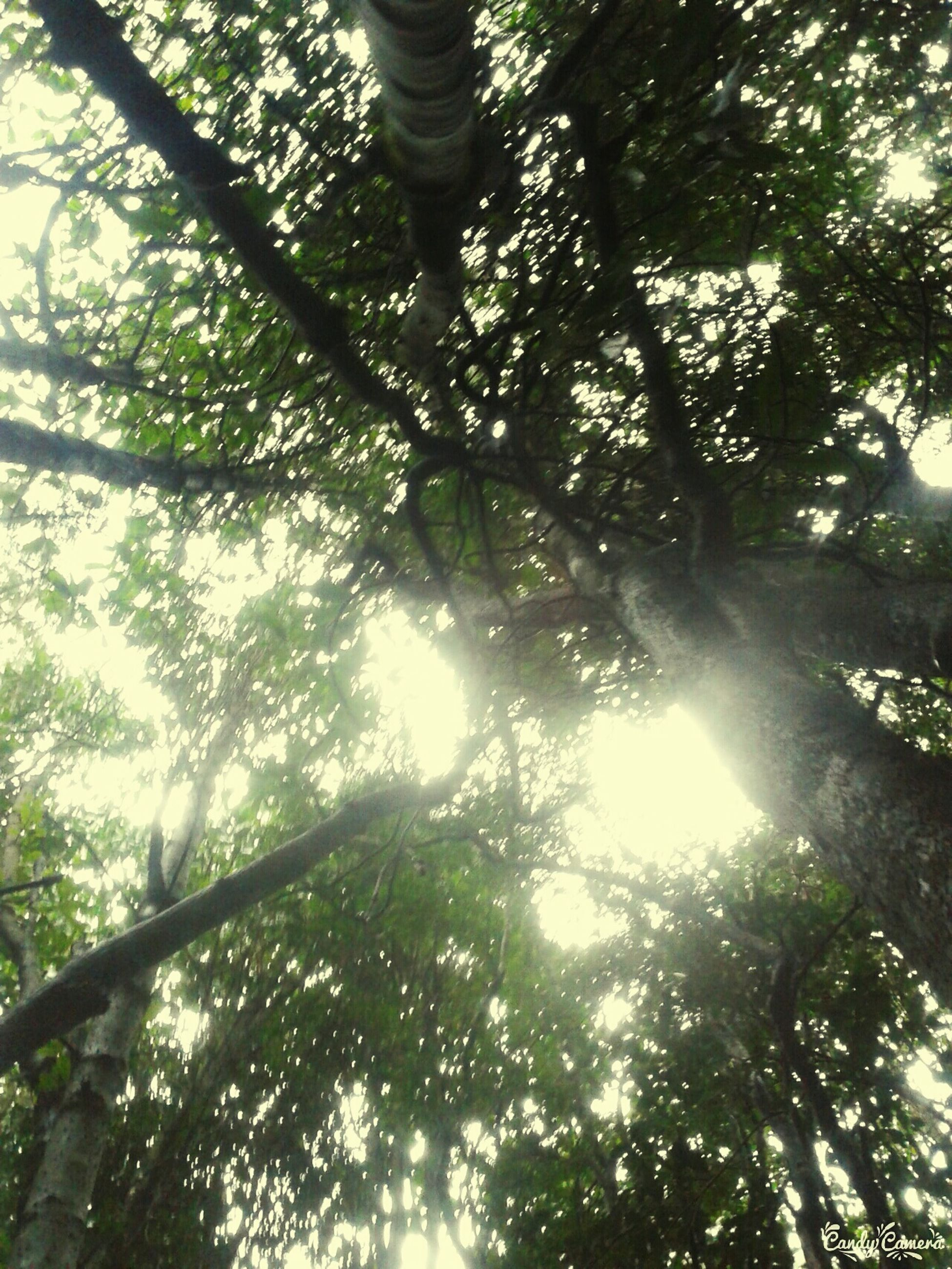 tree, low angle view, sunlight, branch, forest, growth, tree trunk, sun, tranquility, nature, sunbeam, lens flare, day, outdoors, beauty in nature, sunny, green color, sky