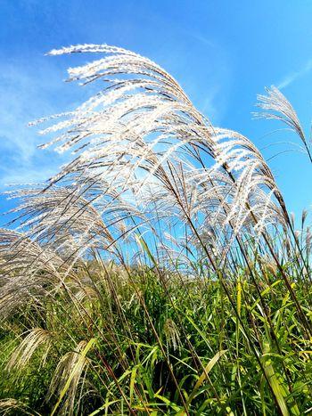 Grass Nature Sky Day No People Environment Pampas Grass Outdoors Close-up Japan Season  Autuman