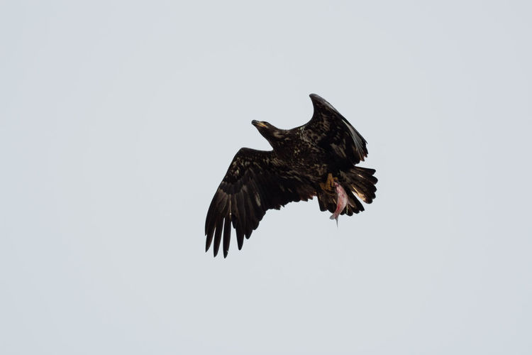 Eating Juvenile Bald Eagle Raptor Animal Themes Animal Wildlife Animals In The Wild Bald Eagle Bird Bird Of Prey Eagle Fishing Eagle Flying Eagle Hunting Eagle With Fish Fish In Talons Flying Mid-air Nature One Animal Outdoors Spread Wings Talons