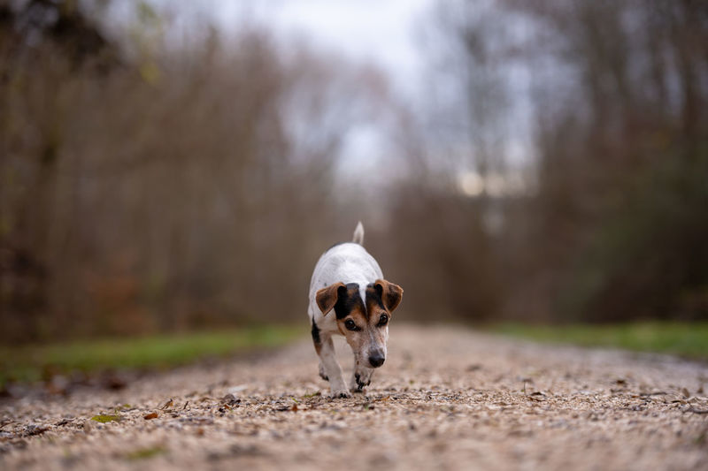 Portrait of dog standing on road