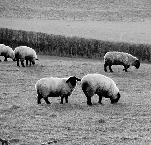 Seep in the rain. Sheep Wales