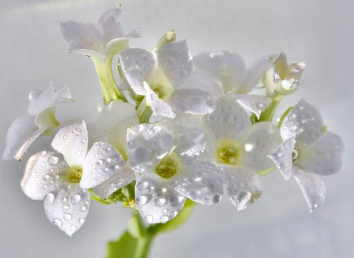 Blütenzauber 🌼🌿✨ Macro_collection Macro Photography Plant Beauty In Nature Close-up Vulnerability  No People Fragility My Best Photo Petal Flowering Plant Indoors  White Color Nature Freshness Flower Growth Inflorescence Cold Temperature Studio Shot Flower Head Water