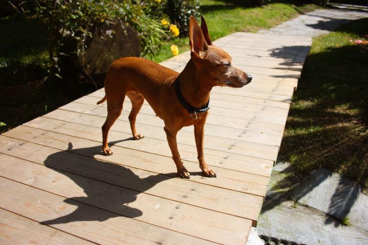 Brown domestic pinscher puppy in the garden on wooden platform