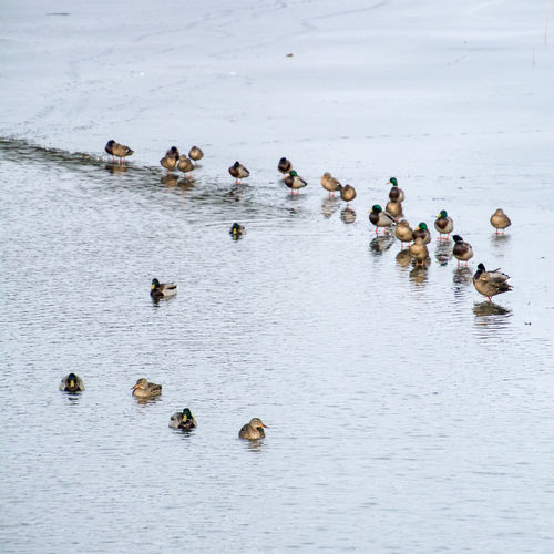 Ice Large Group Of Animals Winter Animals Birds Cold Ducks Lake Water
