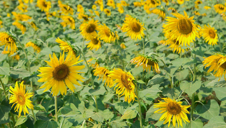 Beautiful yellow sunflower in nature of garden Agriculture Background Beautiful Blooming Blossom Circle Closeup Colorful Country Culture Dusk Earth Farming Field Floral Flower Garden Green Growth Landscape Meadow Natural Nature Orange Organic Outside Petals Plant Pollen Pretty Round Rural Seeds Summer Sun Sunflower Sunlight Sunny Sunset Vibrant Yellow