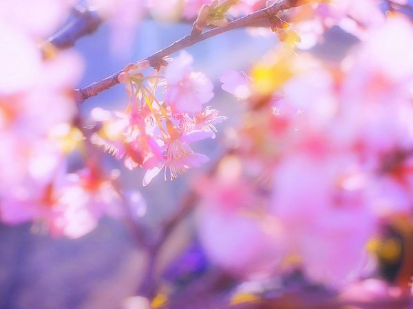 Let,s go out! Showcase March Taking Photos Enjoying Life EyeEm Nature Lover Colorful Spring Time Spring Colours Flowers Colors Fresh 春 Bokeh Takumar Bokeheffect Spring Blossom 梅 Plum Airy Flowers Airy Pink Dreamfantasy Japan