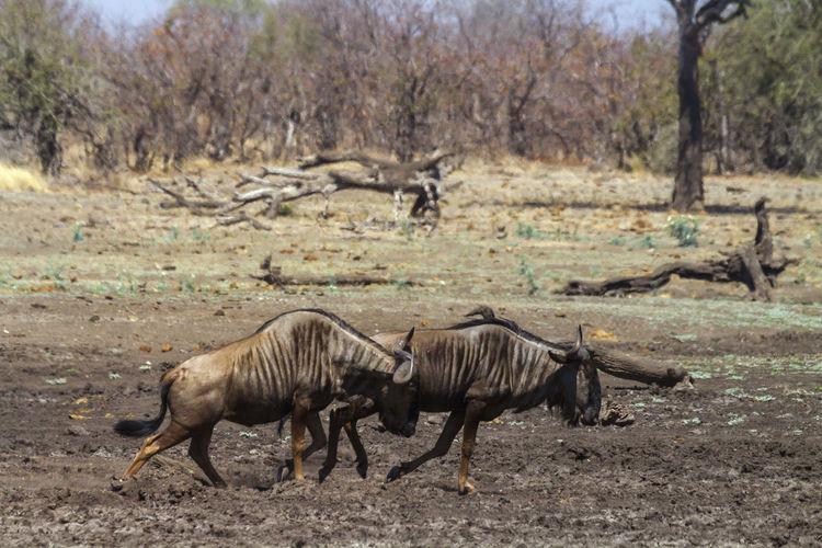 Wildebeests running on land
