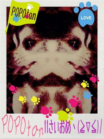 Happy Birthday! Smooth Chihuahua Black Tan ぽ ぽ た ん ヽ(≧▽≦)ノ 11さいのおたんじょうび おめで とう(◞ꈍ∇ꈍ)◞⋆**✚⃞ྉ 2003ねん1がつ17にち 11さいになった(´•̥ ω •̥` ) これからもげんきでいてね(◍⁃͈ᴗ•͈)४४४♡*