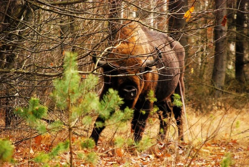 Bialowieza National Park Poland Animal Themes Aurochs Day Forest Nature No People One Animal Outdoors Tree