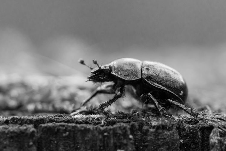 Anoplotrupes Stercorosus Black & White Close-up Dor Beetle Dung Beetle Insect Nature No People One Animal Selective Focus