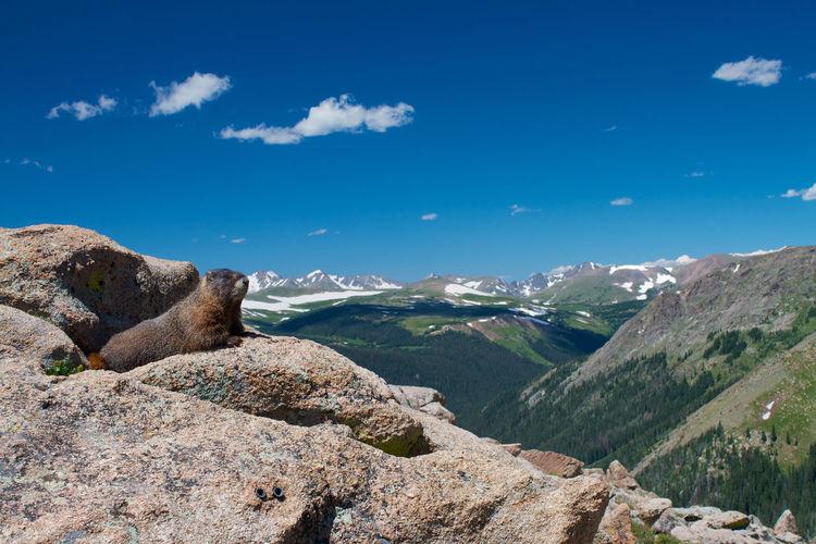Marmot on rock at rocky mountain national park against sky