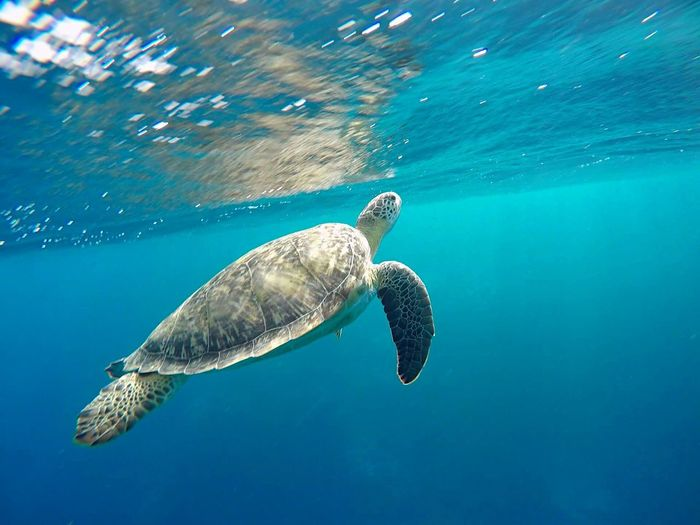 Turtle swimming in red sea