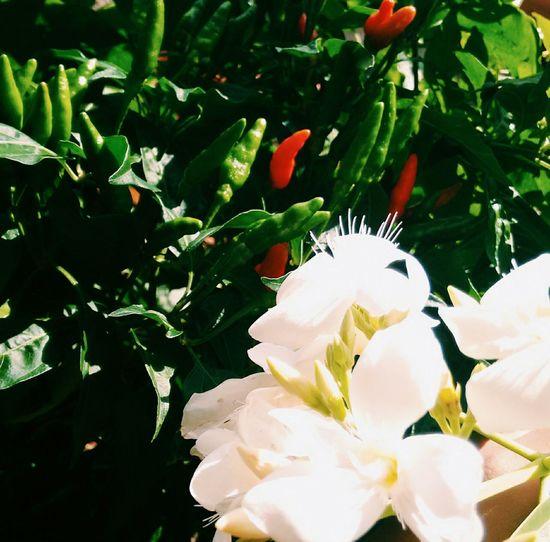 Peppersandflowers Redandgreen Stripevileye First Eyeem Photo Vscocam Vscobrasil