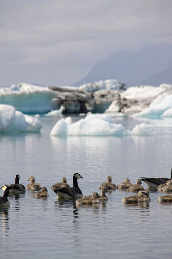 Geese and goslings swimming on lake with icebergs