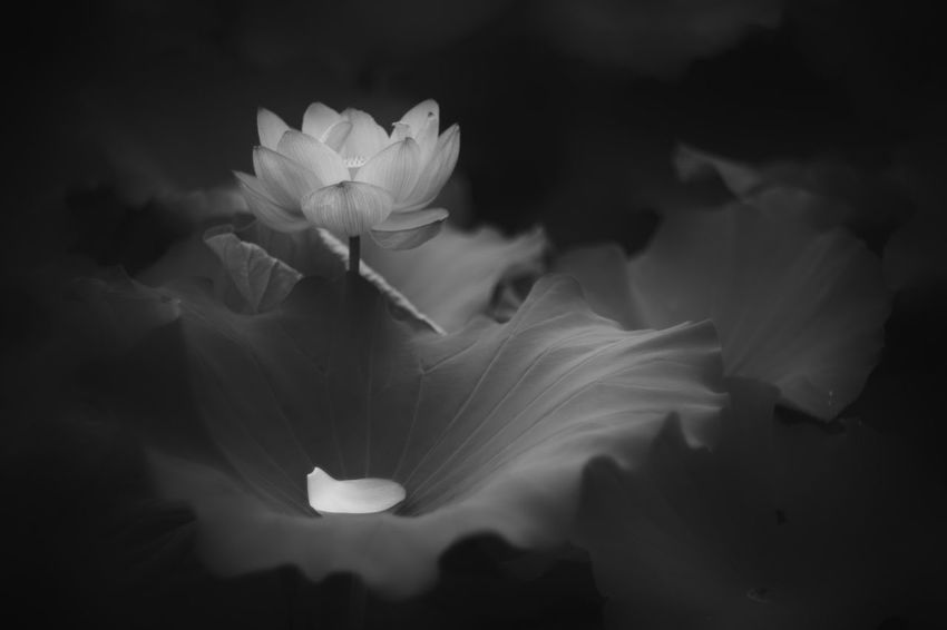 Part I: Beggining Shades Of Grey Blackandwhite Monochrome Lotus Light And Shadow