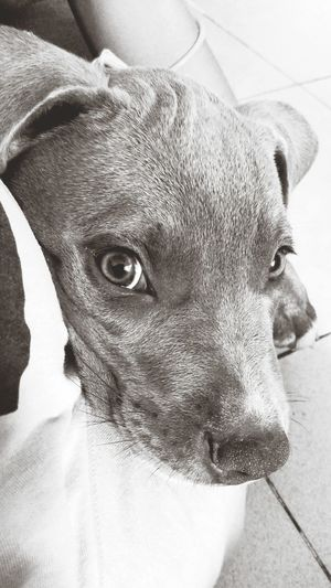 Dr. Shenka One Animal Domestic Animals Mammal High Angle View Animal Themes Close-up Looking At Camera Portrait Indoors  Pets No People Perro Perros  Dog Dogs Dr. Shenka
